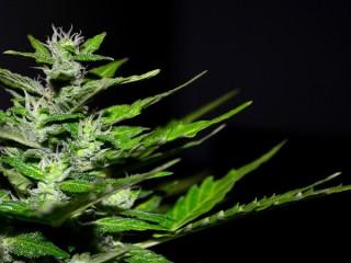 cannabis-2761102_1280