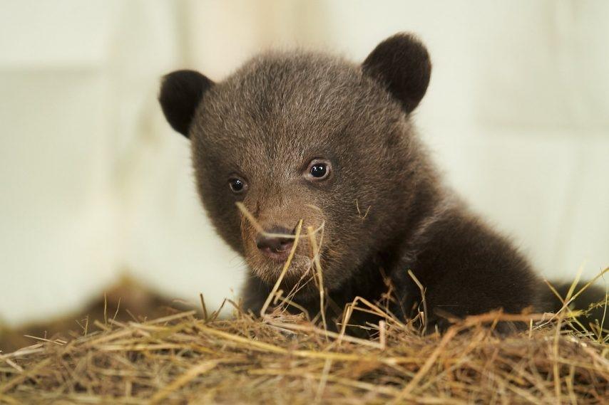 Une des oursonnes du du parc animalier de Gramat.
